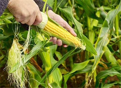玉米须竟是天然良药!泡水竟有这么多好处!