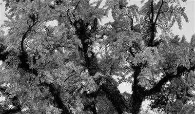 手机也可查!温州原来有这么多古树名木