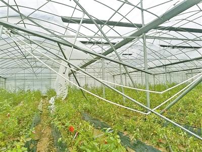 马站蒲城1320亩葡萄受损严重 果农叹一年白忙活